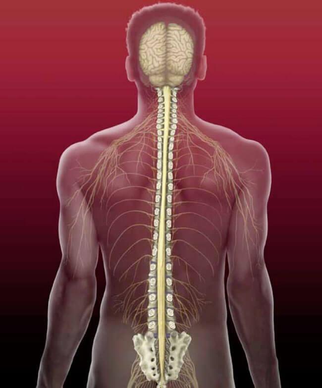 nervna-sistema